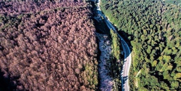 Tırtılların zarar verdiği kayın ormanları yeniden yeşerdi