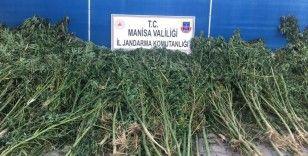 Manisa'da bugüne kadarki en büyük kenevir operasyonu