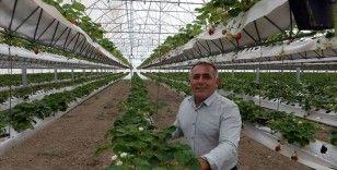 Topraksız serada 110 ton çilek hasat etmeyi bekliyor