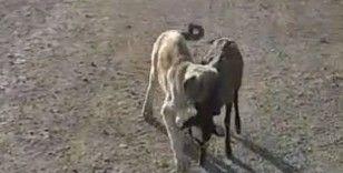 Yavru köpek sürüden ayrılan kuzuyu böyle getirdi