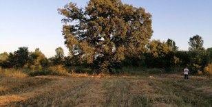 500 yıllık ağacı görenler şaşırıyor