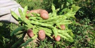 Tescilli ürün 'boncuk fasulye'de hasat başladı