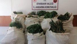Diyarbakır'da 975 bin kök Hint keneviri, 176 kilo kubar esrar ele geçirildi