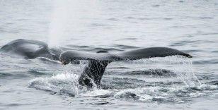 Avustralya'da göç yolunu kaybeden 16 metrelik dev balinalar timsahlarla dolu nehre girdi