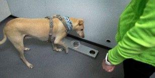 Helsinki Havalimanı'nda Covid-19'u tespit etmek için eğitimli köpekler kullanılacak