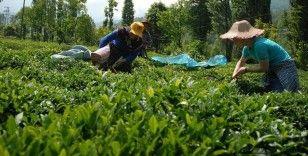 ÇAYKUR üçüncü sürgünde 179 bin ton yaş çay aldı