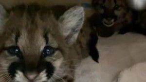 California'daki yangında annelerini kaybeden dağ aslanları hayvanat bahçesinde