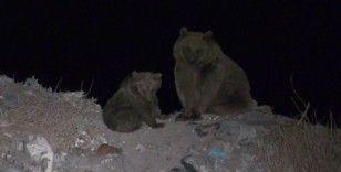 Kış uykusundan önce ayılar yiyecek bulmak için şehir çöplüğünün yolunu tutuyor