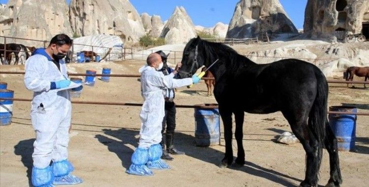 'Güzel atlar ülkesi' Kapadokya'nın atlarına mikroçip takılıyor