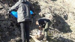 Tunceli'de 8 yaban keçisi telef oldu, inceleme başlatıldı