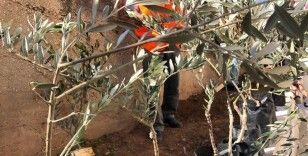 Batı Şeria'da, Filistinli şehitler için 10 bin zeytin fidanı dikildi