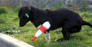 Bacağı kesilen sokak köpeği 3 boyutlu yazıcıdan tasarlanan protezle yürüdü