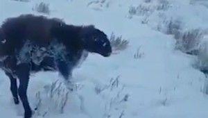 Kazakistanda bazı hayvanlar soğuktan buz tuttu