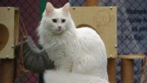 Van kedilerinin artık kimliği var