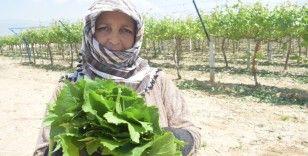 Manisa'nın asma yaprağı için 'Coğrafi İşaret' tescil çalışmaları başladı