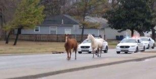 ABD'de kaçak atlar trafiği tıkadı