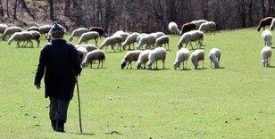 Aylık 5 bin lira maaşla çalıştıracak çoban bulamıyorlar