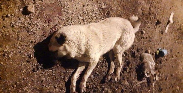 Çoban köpeklerinin öldürülmesi tepkiye yol açtı
