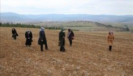 Kooperatif kuran Kastamonulu kadınlar lavanta üretimine başladı