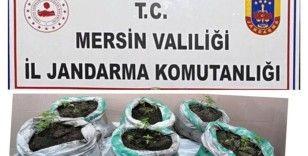 Mersin'de kenevir yetiştiren 3 kişi gözaltına alındı