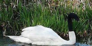 İngiltere'de kuğuya çirkin şaka: Başına çorap geçirip göle bıraktılar