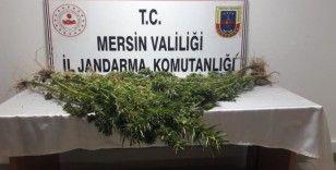 Mersin'de 351 kök kenevir bitkisi ele geçirildi