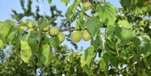 'Kayısının başkenti'nde üreticiler yeni sezona mutlu giriyor