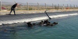 Ünlü domuz avcısı, kanala düşen yaban domuzlarını kurtardı
