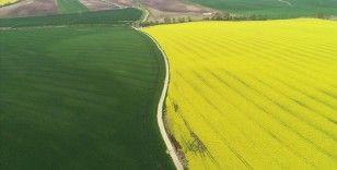 Trakya'nın 'sarı kızı' kanola çiftçiye alternatif ürün oluyor