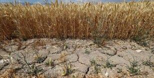 İzmir'de bahar yağışlarındaki düşüş hububat üretimini olumsuz etkiledi