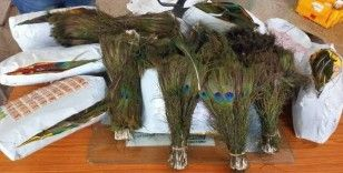 Hindistan'dan Hong Kong'a kaçırılmak istenen 8 kilo tavus kuşu tüyüne el konuldu
