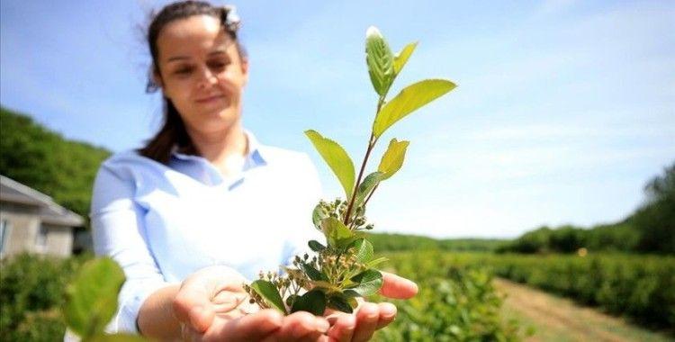 Kırklareli'nde kıraç alanlarda üretimine başlanan 'aronya'nın ihracatı hedefleniyor