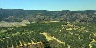 Tarım arazisine dönüştürülen kömür madeni sahasından 6 ülkeye zeytinyağı ihracatı