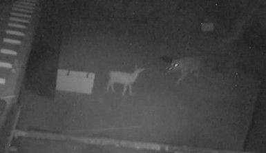 Aç kalan kurdun oğlaklara saldırması güvenlik kameralarına yansıdı