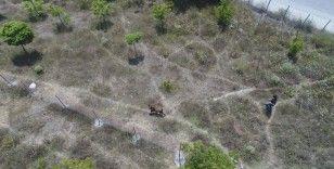 Sultangazi'de kaçan kurbanlığı yakalama çabası drone ile görüntülendi