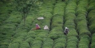 ÇAYKUR yaş çay alımlarına yeniden başladı