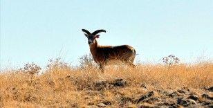 Nesli tehlike altında bulunan Anadolu yaban koyunu Kervansaray Dağı'nda yetiştirilecek