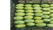 Coğrafi işaretli Aydın incirinde ilk hasat yapıldı