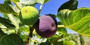 Dünyaca ünlü siyah incirin fiyatı 30 liradan 12 liraya düşünce çiftçi isyan etti