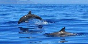 Faroe Adaları'ndaki 'festivalde' 1500'e yakın balina ve yunus katledildi