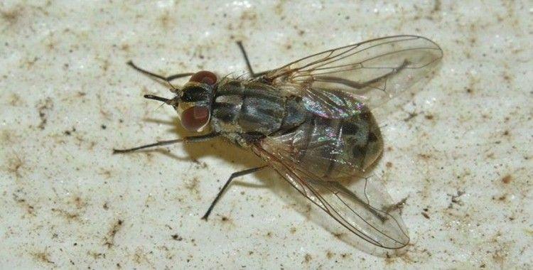 'Marmara'yı istila eden baldırsokan sineği hastalık taşıyabilir'