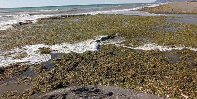 Hatay'da su sümbülleri, Samandağ sahiline yayıldı