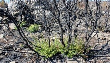 Bodrum'da kül olan ormanlar yeniden yeşeriyor