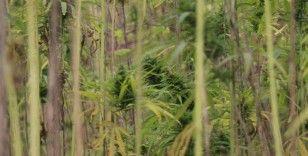 Atıl alan kenevir tarlası oldu, 500 dekar alanda hasat başladı