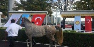"""Safkan Arap yarış atı """"Cevhertay"""" TİGEM tarihinin en yüksek fiyatına satıldı"""