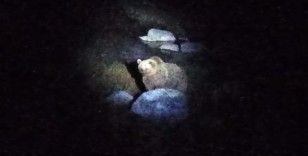 Nemrut Krater Gölü'nün müdavim ayıları yeniden görüntülendi