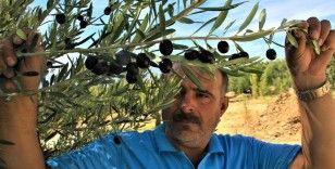 Kuraklık zeytinde rekolteyi düşürdü, kaliteyi etkilemedi