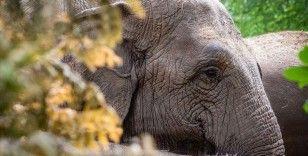 Mozambik'te dişi fillerin çoğunun dişsiz doğmasının sebebi kaçak avlanma olabilir