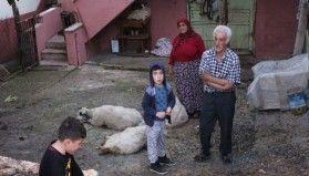 Aç kalan sokak köpekleri, koyun sürüsüne saldırdı