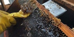 Muğla'da taşımayla kurulan 'basralı çam alanları'nda sezonun ilk bal hasadı yapıldı